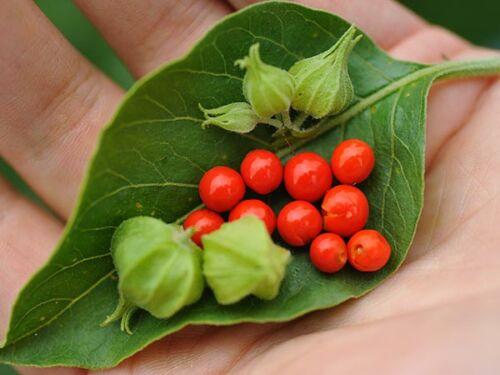 ashwagandha növény